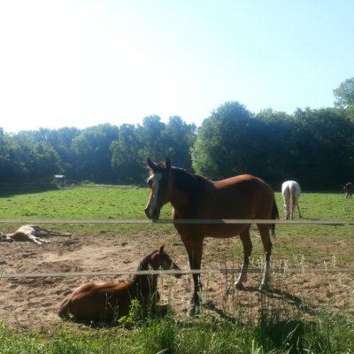 Paarden langs de weg