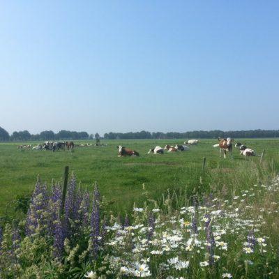 Grazende koeien in het weiland